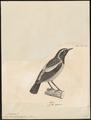 Saxicola bifasciata - 1700-1880 - Print - Iconographia Zoologica - Special Collections University of Amsterdam - UBA01 IZ16200316.tif