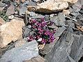 Saxifraga biflora Ferdenpass.jpg