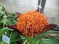 Scadoxus puniceus - Kirstenbosch botanical garden - 3.jpg
