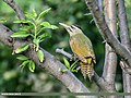 Scaly-bellied Woodpecker (Picus squamatus) (35037044993).jpg