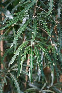 Schefflera elegantissima.jpg