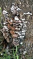 Schizophyllum commune 705389.jpg