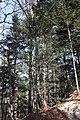 Sciadopitys verticillata s2.jpg