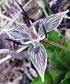 Scoliopus biglovii-2.jpg