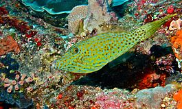 Scribbled Leatherjacket Filefish (Aluterus scriptus) (6059277332).jpg