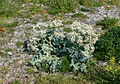 Sea Kale on the shingle at Llanfairfechan. - geograph.org.uk - 1335137.jpg