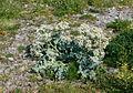 Sea Kale on the shingle at Llanfairfechan. - geograph.org.uk - 1335137.jpg