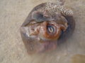 Sea hare, Aplysia dactylomela, 12 04 2009 2-02pm.jpg