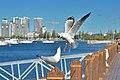 Seagull (161468465).jpeg