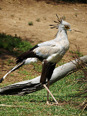 http://upload.wikimedia.org/wikipedia/commons/thumb/6/64/Secretary-Bird.jpg/290px-Secretary-Bird.jpg