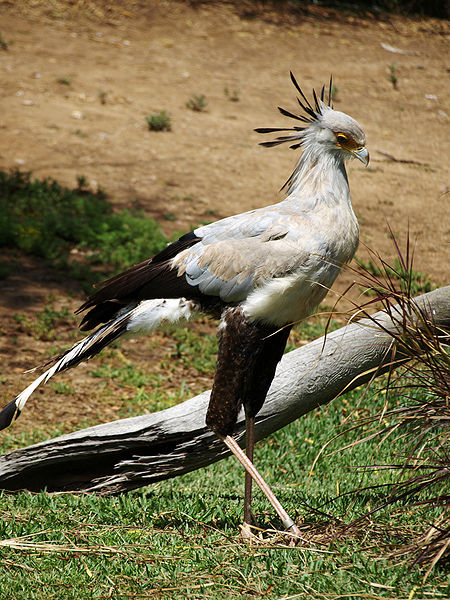 File:Secretary-Bird.jpg