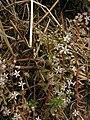 Sedum cepaea inflorescence (04).jpg