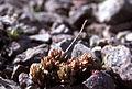 Sedum lanceolatum (NPS Yellowstone slide file 07678).jpg