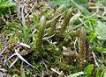 Selaginella selaginoides at Rax.jpg