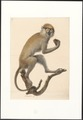 Semnopithecus spec. - 1749-1842 - Print - Iconographia Zoologica - Special Collections University of Amsterdam - UBA01 IZA1000061.tif