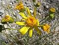 Senecio flaccidus var monoensis 8.jpg