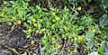 Senecio viscosus (Sticky Groundsel) seed and flower heads, Kilmaurs, East Ayrshire.jpg