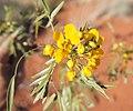 Senna glutinosa flowers.jpg