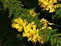 Senna polyphylla (3053206482).jpg