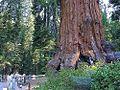 Sequoias forrest.jpg