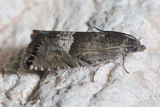<i>Sereda</i> Genus of tortrix moths
