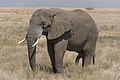 Serengeti Elefantenbulle by DerHexer.jpg