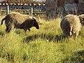 Sheep, Hilbre Island 2.JPG