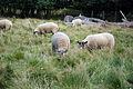 Sheep (1429127558).jpg