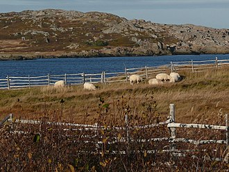 Tilting, Newfoundland and Labrador - Sheep grazing alongside the Turpin's Trail interpretive trail in Tilting.