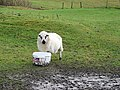 Sheep at Bwlch Coch - geograph.org.uk - 296063.jpg