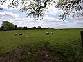 Sheep southwest of Plaston Green - geograph.org.uk - 1291295.jpg