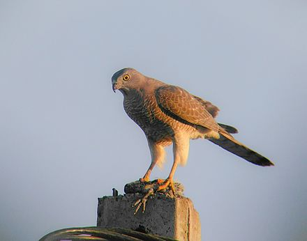 Shikra females have yellow eyes Shikra 3.jpg