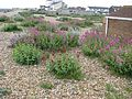 Shoreham beach - Flickr - peganum (4).jpg