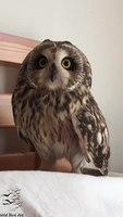 File:Short-eared owl (Asio flammeus).webm