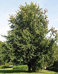Silber-Ahorn (Acer saccharinum)