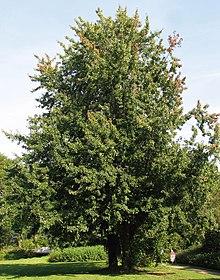 Acer Saccharinum Wikipedia