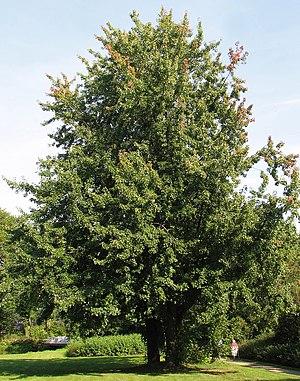 Acer saccharinum - Image: Silber Ahorn (Acer saccharinum)