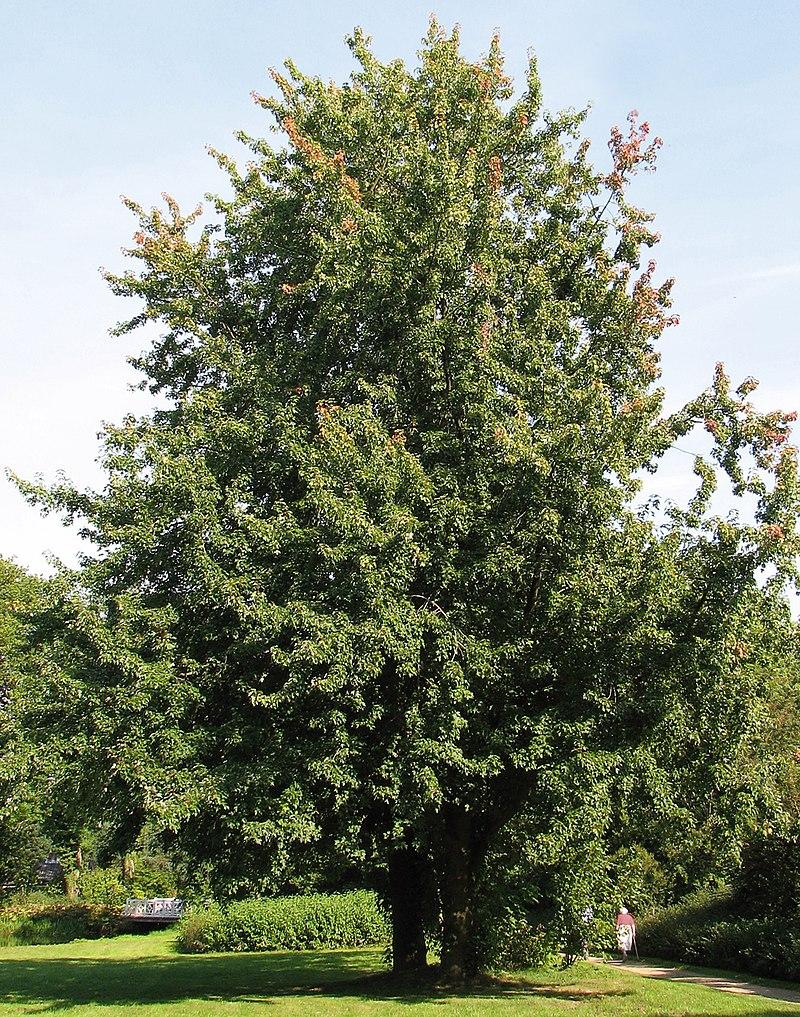Silber-Ahorn (Acer saccharinum) .jpg