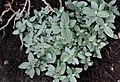 Silbernetzblatt (Fittonia verschaffeltii var. argyroneura) Blumengärten Hirschstetten Wien 2014 b.jpg