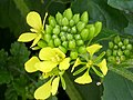 Sinapis alba FlowerCloseup 2010-4-11 DehesaBoyalPuertollano.jpg