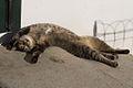 Sleeping Cat (331702231).jpg