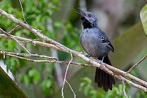 Slender antbird - Image: Slender Antbird Rhopornis ardesiaca