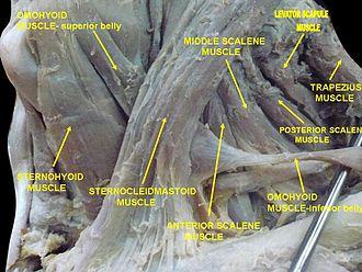 Scalene muscles - Image: Slide 1ABBA