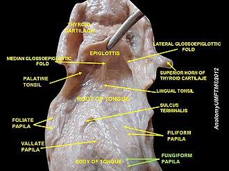 Lingual papillae - Image: Slide 9uuu