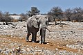 Slon směřující k napajedlu - panoramio.jpg