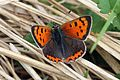Small copper (Lycaena phlaeas eleus) 2.jpg