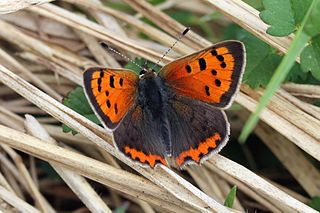 <i>Lycaena phlaeas</i> species of insect