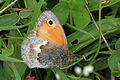 Small heath butterfly (Coenonympha pamphilus).jpg