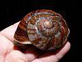 Snail (Bertia brookei) (6856460017).jpg