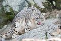 Snow Leopard Sneaking (17047126856).jpg